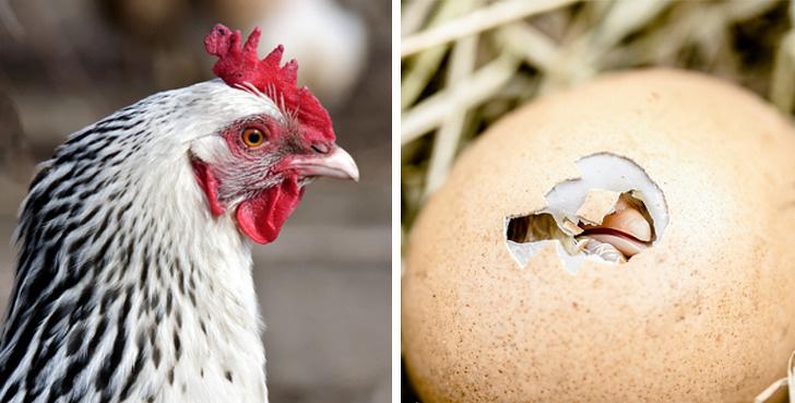 先有鸡还是先有蛋?有些从小纠结的问题,其实早已有了科学答案