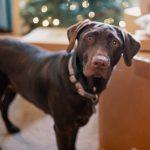 新研究狗狗年龄公式,尚在卖萌的两岁拉布拉多,竟然相当人到中年